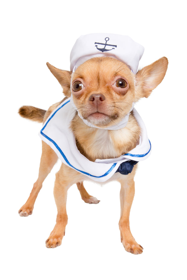Chihuahua wearing a sailor dog costume.