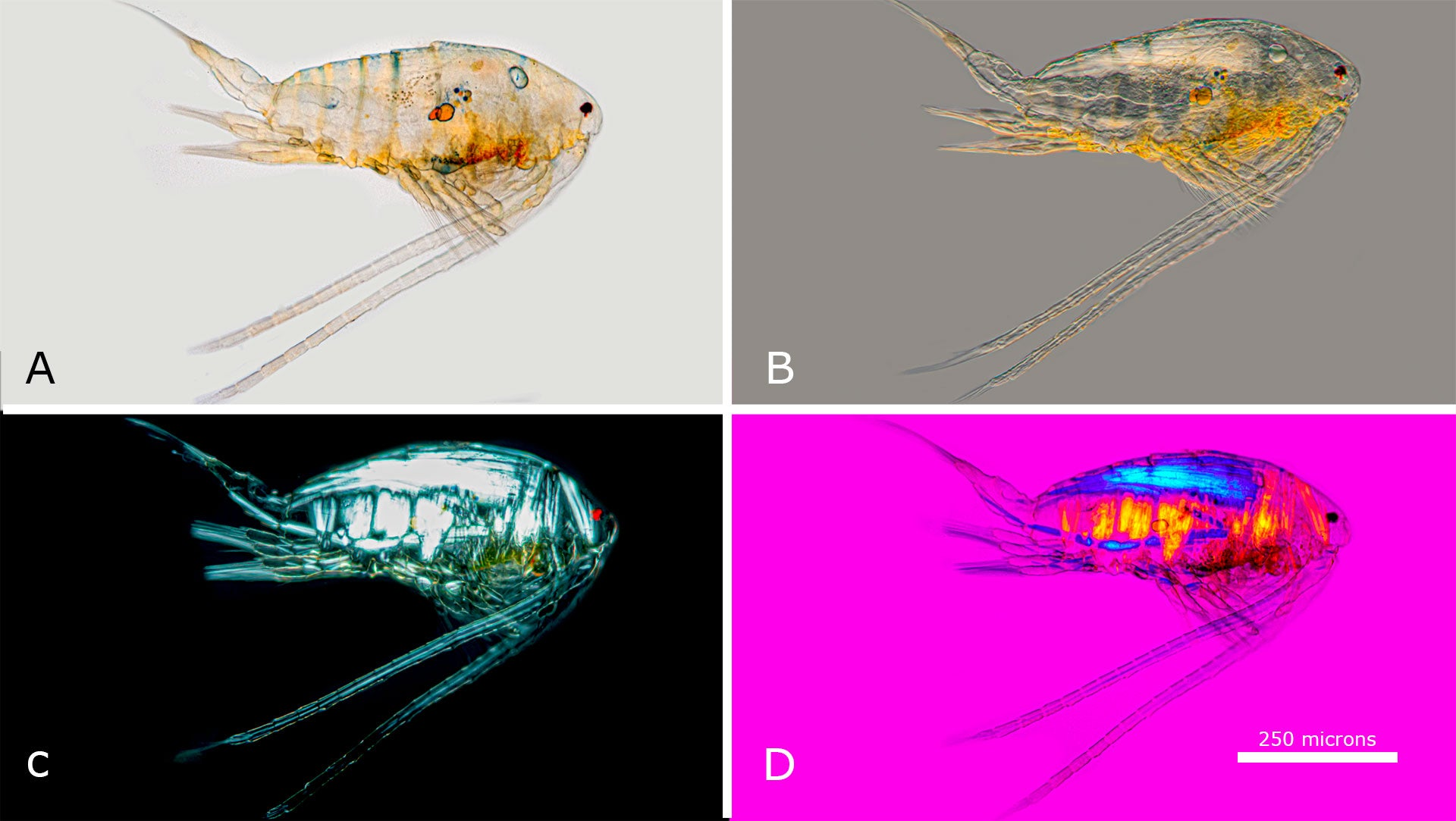 Calanoid Copepods are found in open water on lakes and ponds.  Viewed with A) Bright field microscopy B) DIC microscopy C) Polarizing microscopy D) Polarized light and full wave 550 nm retardation filter.