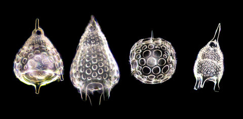 Radiolaria skeletons, single cell protists living in the ocean. They form beautiful mineral (usually silica) skeletons. Dark-field microscopy – each shell was focus-stacked 200X.