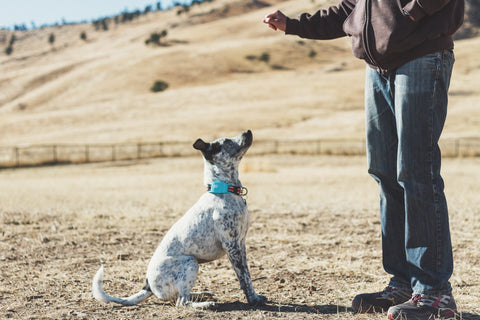 Learn about the different flavors of dog obedience