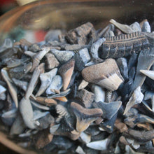 fossil shark teeth for sale in wholesale lots for jewelry making and collecting