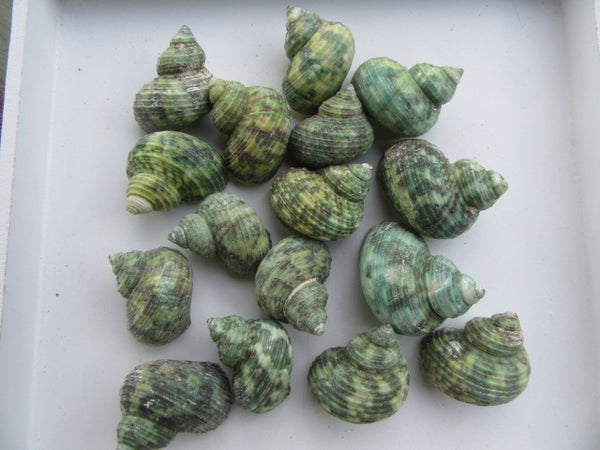 Green Conch Shells