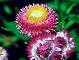 Strawflowers are great for drying