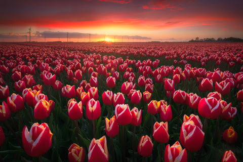 Endless Tulips