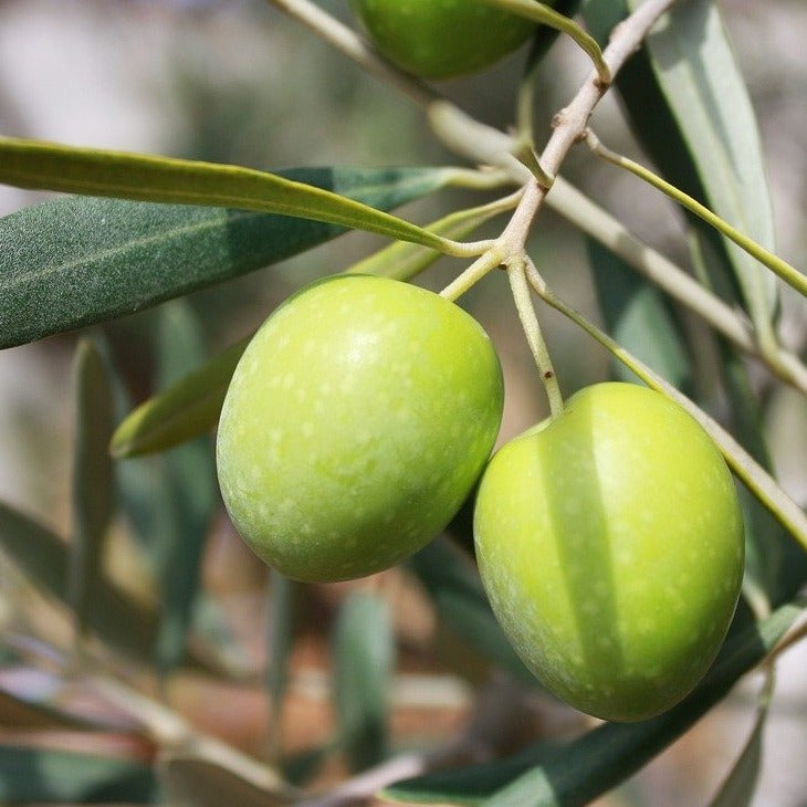 Hojiblanca - Robust - Spain EVOO