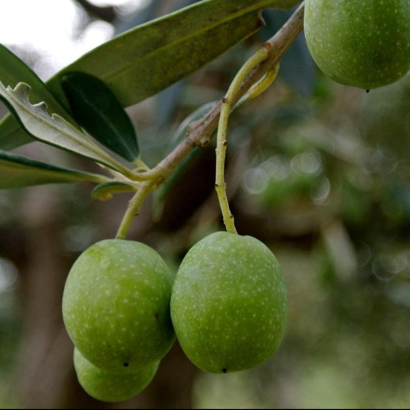 """Melgarejo"" Picual - Robust - Spain Picual EVOO"