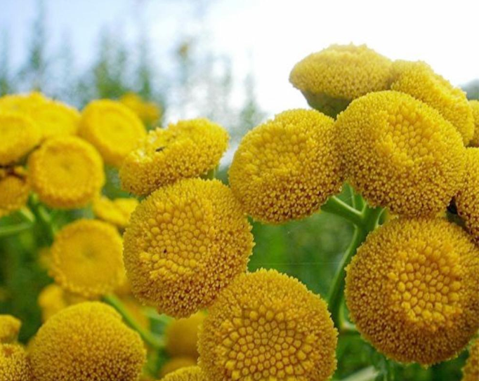 How Blue Tansy Can Help with Inflammation