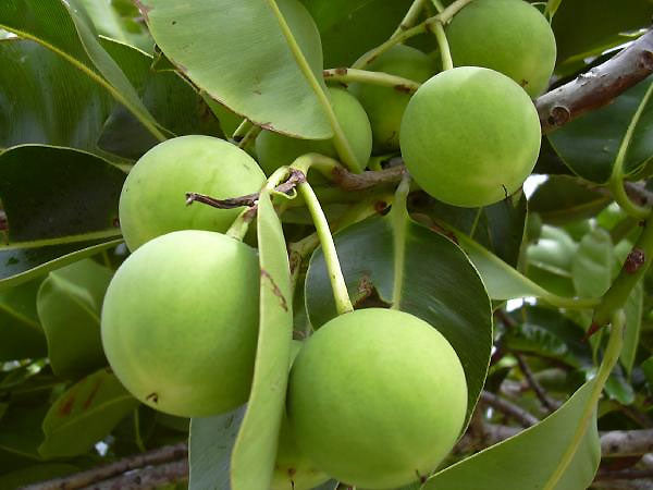 Using Tamanu Oil For Irritated Skin