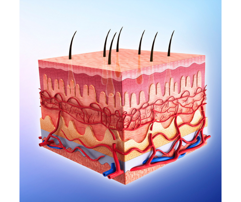 Image showing the layers of the skin
