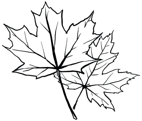 A black-line sketch of two maple leaves on a white background.