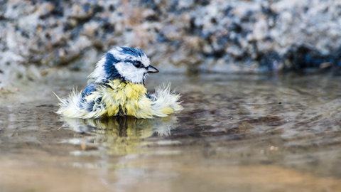 A bathing blue and yellow coloured bird