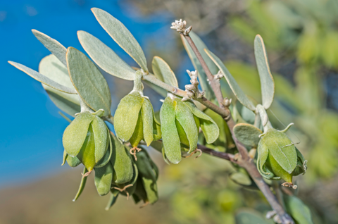 Branch of jojoba tree with blue sky in the background