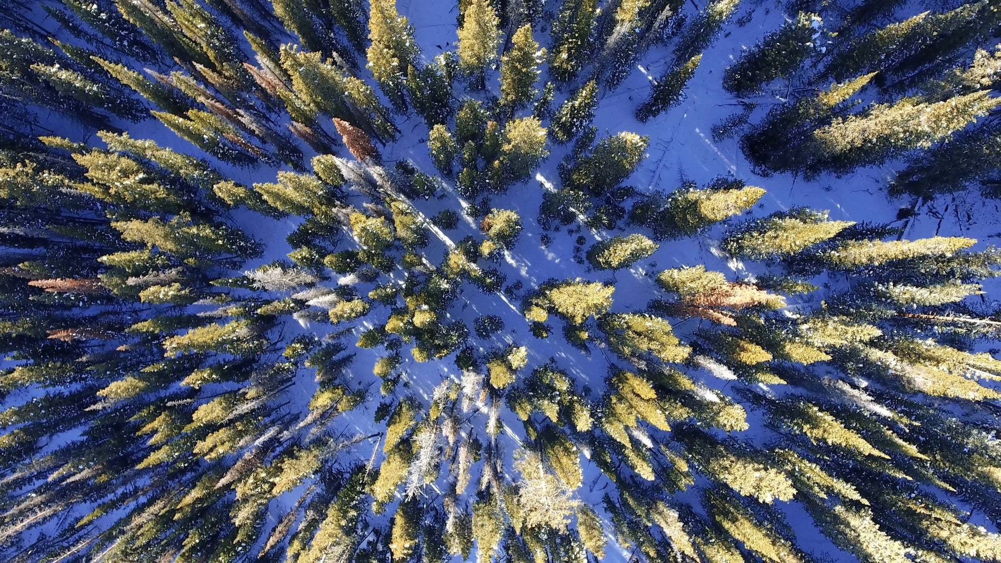 Free 4K aerial stock video flying over snow covered pine trees