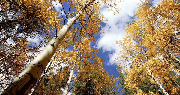 Free 4K Nature Stock Video: Aspen Trees During Autumn