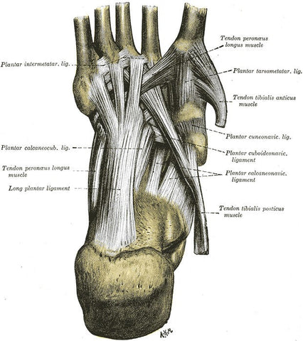 Long Plantar Ligament via Wikimedia, Creative Commons