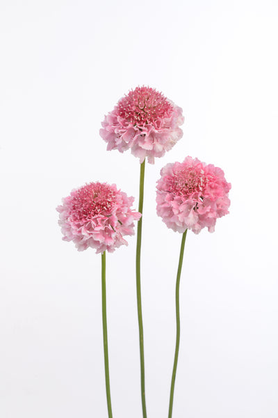 Scabiosa Scoop™ Series
