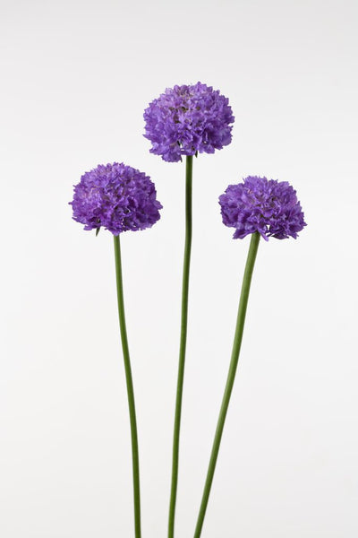 Scabiosa BON BON SCOOP ™(NEW!)