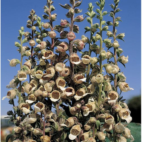 More Digitalis