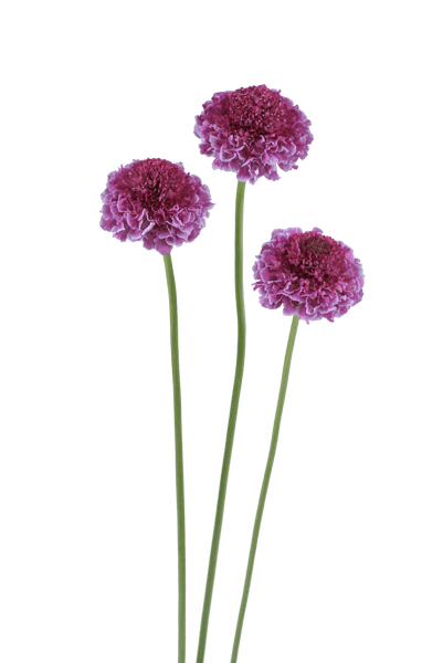 Scabiosa Focal Scoop™ NEW!