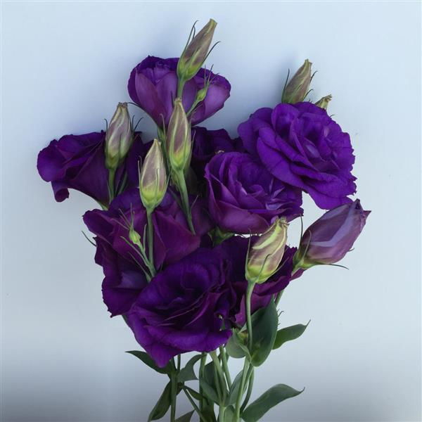 Lisianthus Can Can