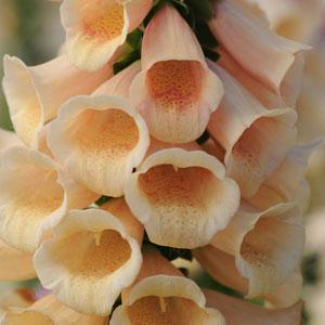 Digitalis Dalmation