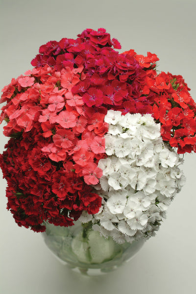 Dianthus Sweet