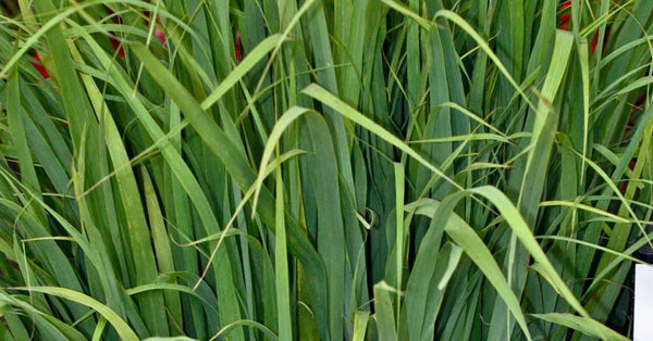 How to grow lemongrass indoors....It's easy!