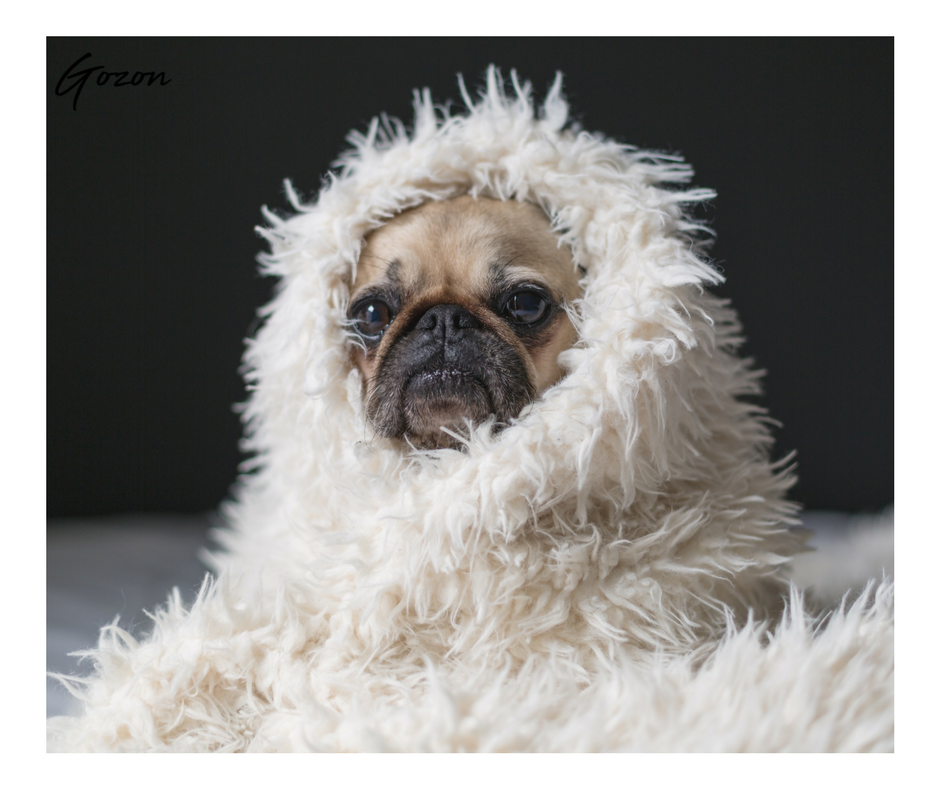 Pug wrapped in a fuzzy blanket - Comfy Cozy Sunday Morning - GOZONCOM - 1/28/2018