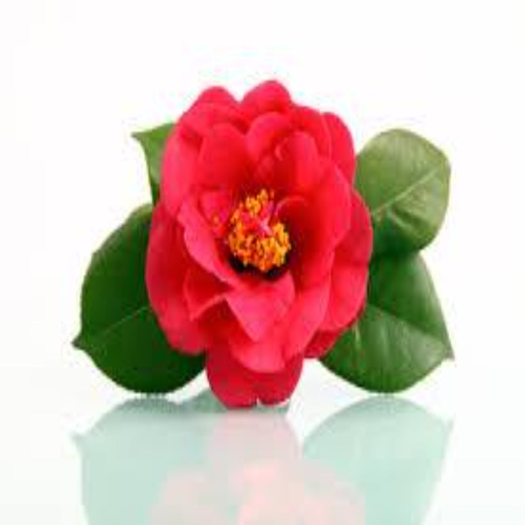 Buy Camellia Essential Oil Online in India - The Art Connect