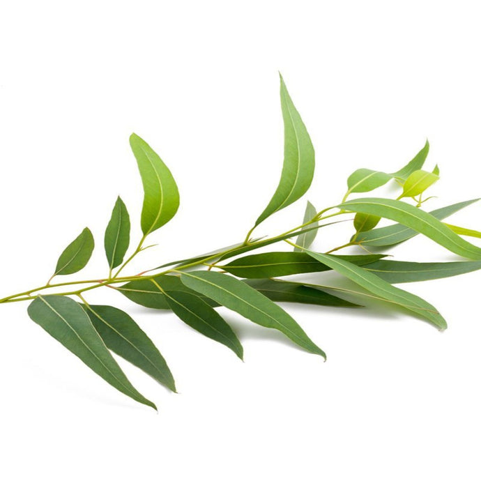 Buy Eucalyptus Essential Oil Online in India - The Art Connect