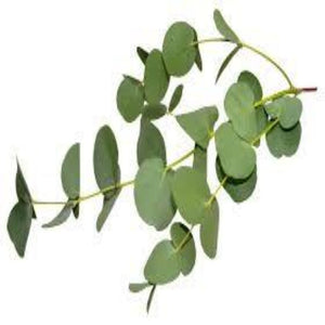 Buy Eucalyptus Hydrosol Online in India - The Art Connect