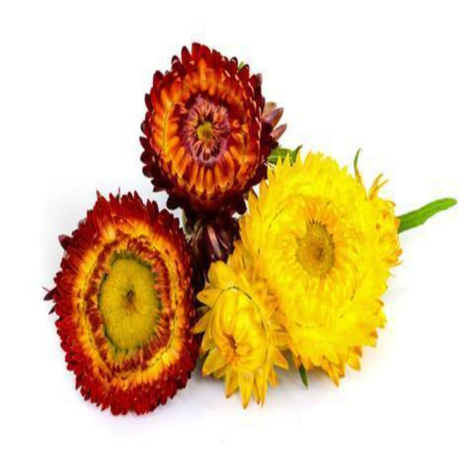 Buy Helichrysum Essential Oil Online in India - The Art Connect