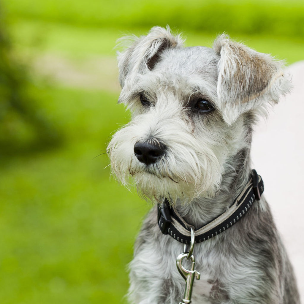 Schnauzer Bumps | PETS Magazine: Ask the experts column, by Desmond Chan