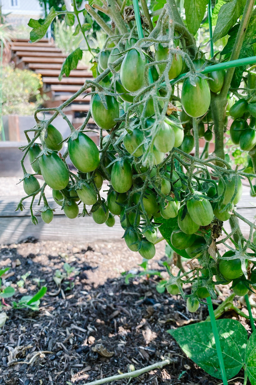Taking Care Of Tomato Plants