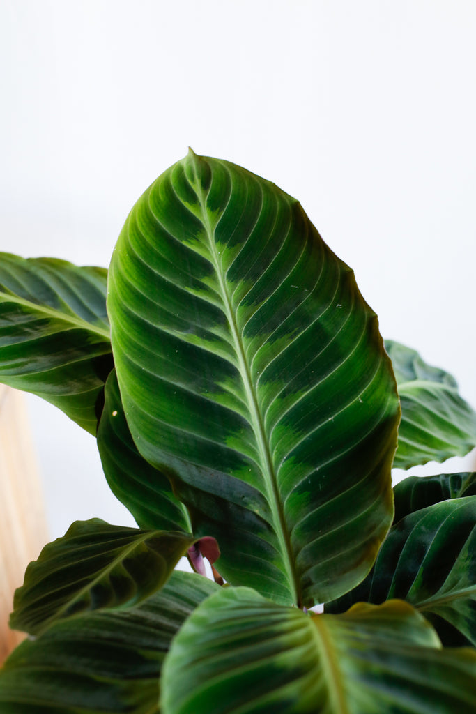 Plant Know-How: Calathea warscewiczii