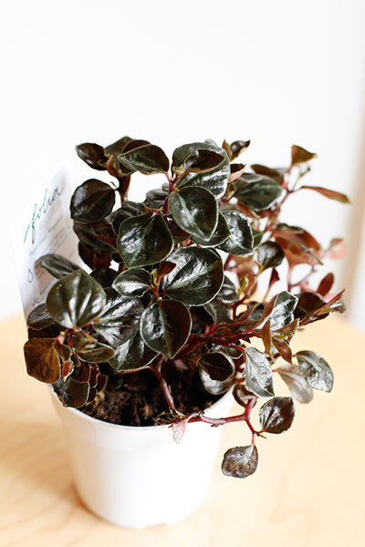 Plant Know-How: Peperomia metallica