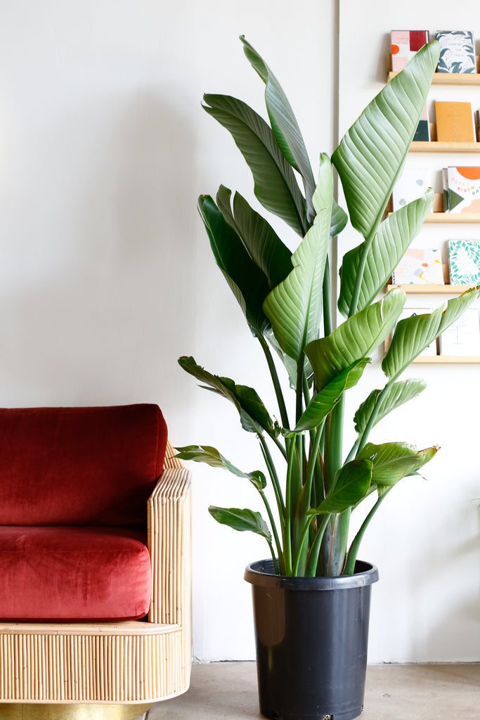 Plant Know-How: Strelitzia nicolai