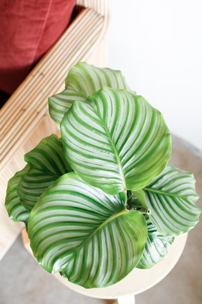 Calathea orbifolia close