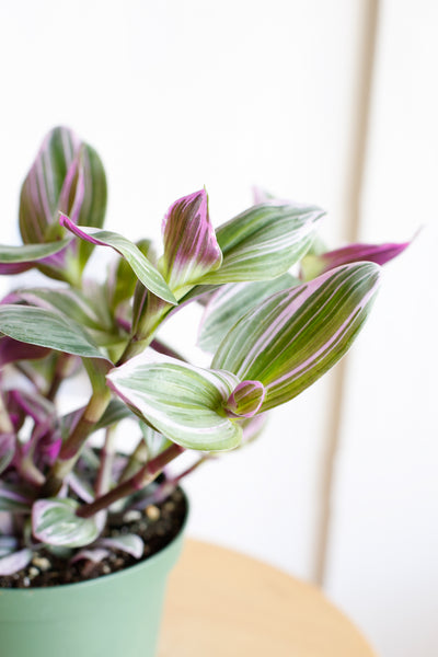 Tradescantia nanouk close