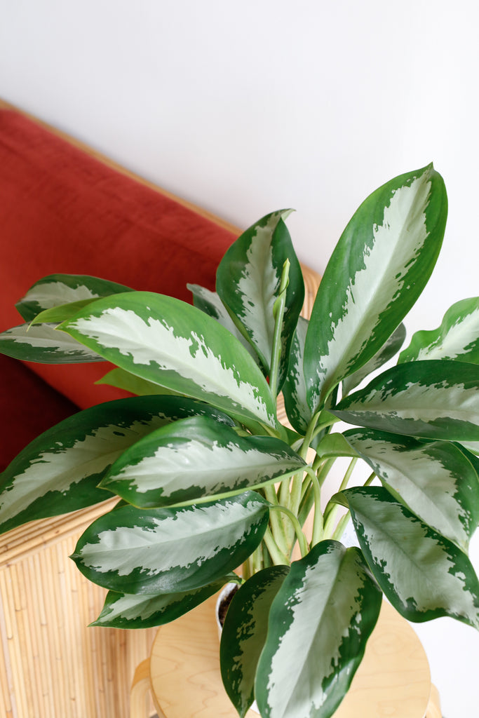Aglaonema 'Diamond Bay'