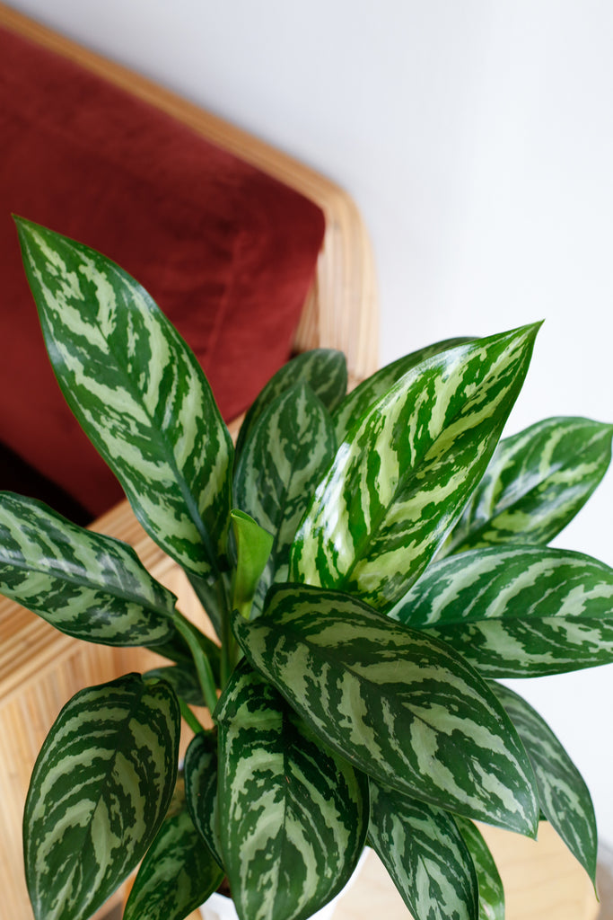Aglaonema 'Tigress'