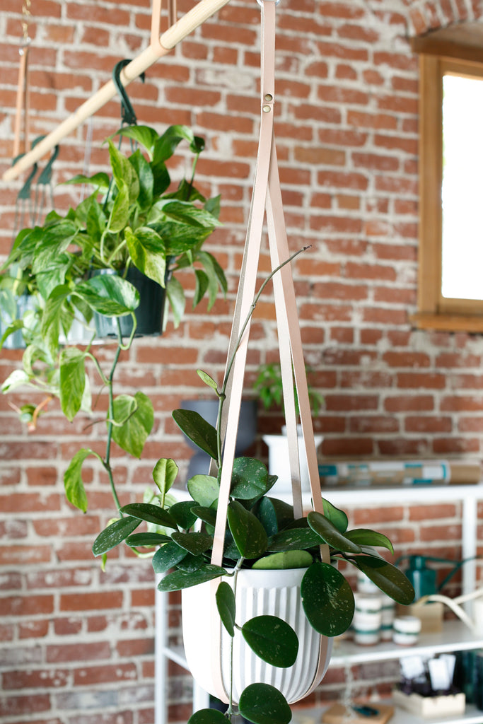 Leather plant hanger with white pot and Hoya plant, hanging from ceiling