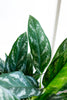 Aglaonema 'Green Lady'