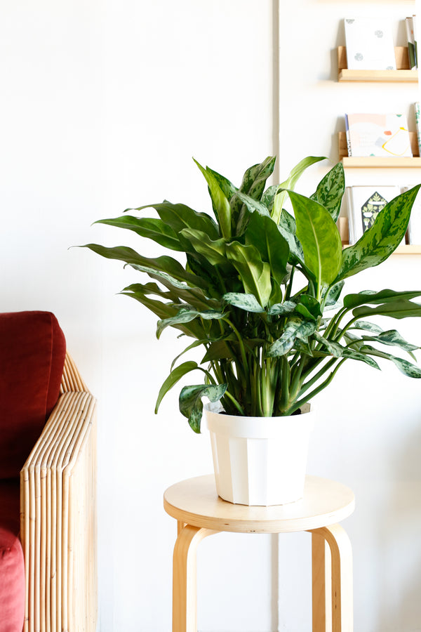 Aglaonema 'Juliette'