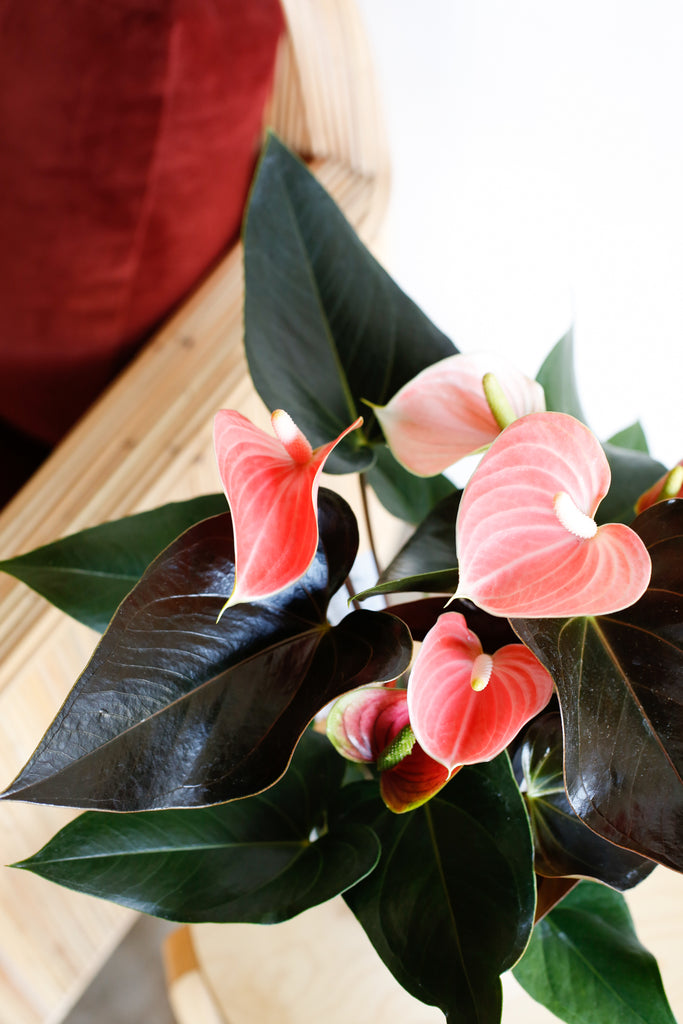 Anthurium andraeanum 'Rainbow Champion'
