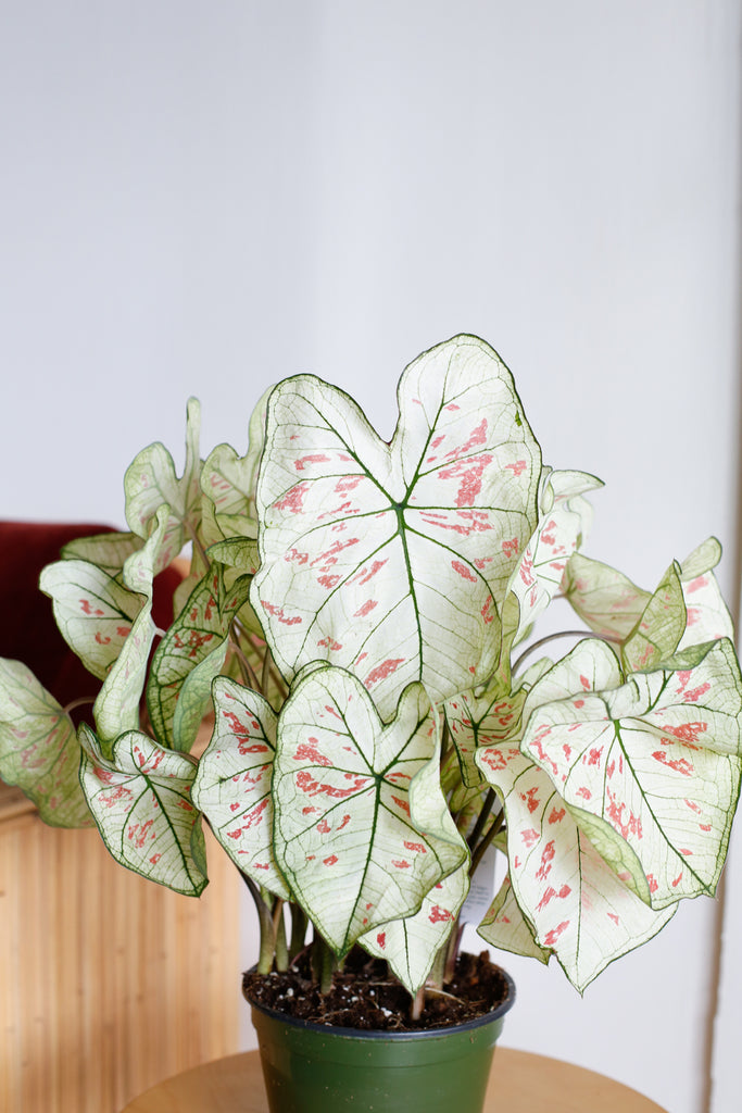 Caladium 'Strawberry Star'