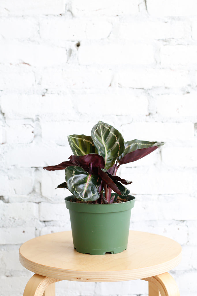 Calathea roseopicta 'Jungle Rose'