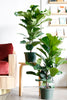 Ficus lyrata (Fiddle Leaf Fig)