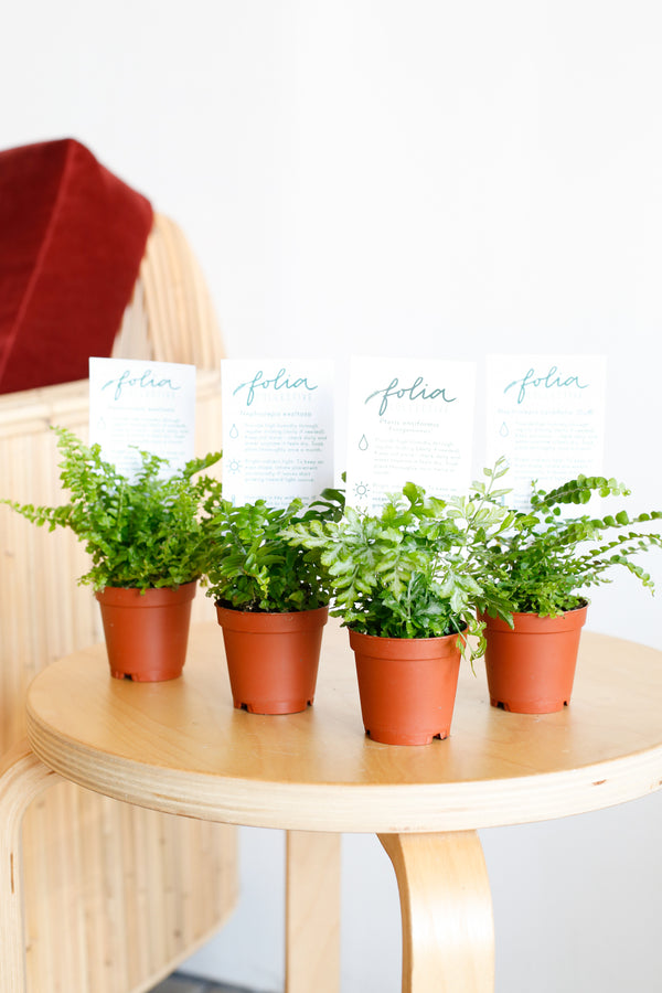 Mini Ferns