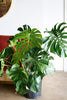 Monstera deliciosa (maturing form)